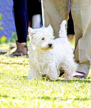 Photo pour Une vue d'un statut de chien de petite, jeune et belle west highland white terrier sur la pelouse. chiens Westie sont très amicales et aiment la compagnie. - image libre de droit