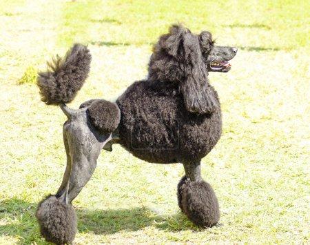 Photo pour Un gros up d'un chien caniche standard noir belle et adorable petite. les caniches sont exceptionnellement intelligents, généralement assimilée à la beauté, de luxe et de snobs. - image libre de droit