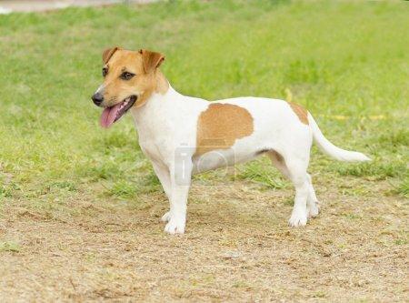 Photo pour Un petit chien Jack Russell Terrier enduit de crème blanche et bronzée marchant sur l'herbe, l'air très heureux. Il est connu pour être confiant, très intelligent et fidèle, et considère la vie comme une grande aventure . - image libre de droit