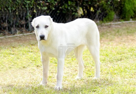Photo for A young beautiful white Central Asian Shepherd Dog standing on the grass. The Central Asian Ovtcharka is a large robust dog, usually with small cropped ears and thick double coat. - Royalty Free Image