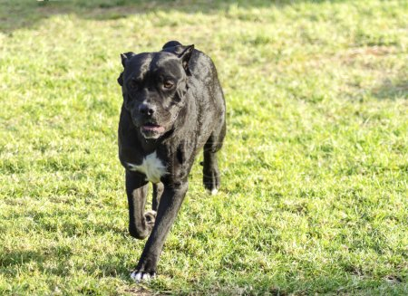 Photo for A young, beautiful black and white medium sized Cane Corso dog with cropped ears running on the grass. The Italian Mastiff is a powerfully built animal with great intelligence and a willingness to please. - Royalty Free Image