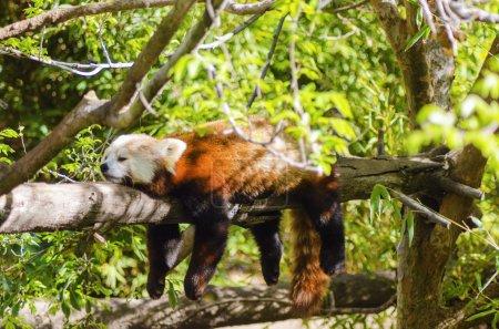 Photo pour Un beau petit panda allongé sur une branche d'arbre dormir allongé avec ses jambes suspendus pendent vers le bas. l'ours rouge chat a un masque blanc et rouge manteau brun et est appelé hun ho en chinois qui signifie renard de feu. - image libre de droit