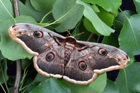 Female of Giant Peacock Moth (Saturnia pyri)...