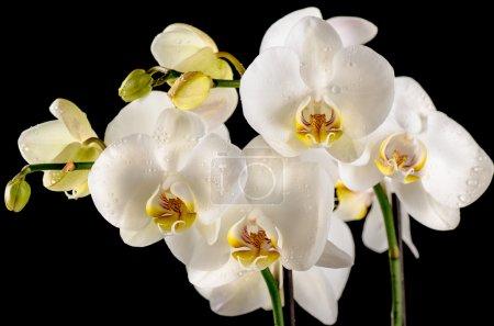 Photo pour Orchidées blanches isolées sur le fond noir - image libre de droit