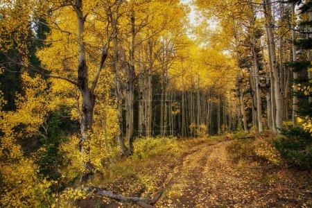 Photo pour Chemin de terre à travers les trembles or dans les montagnes de l'utah - image libre de droit
