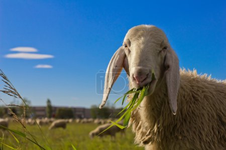 Curious sheep...