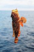 červená skála mořské ryby