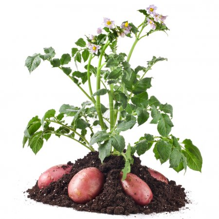 Potato plant and tubers isolated on white