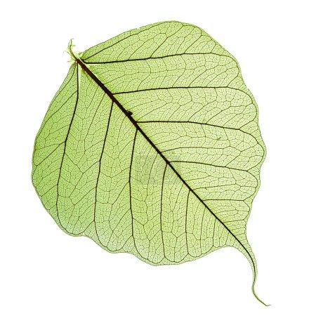 Photo pour Feuille de l'arbre Bodhi, macro isolé sur blanc - image libre de droit