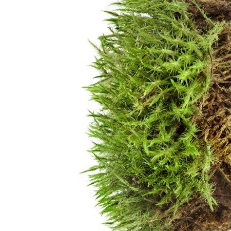 Photo pour Mousse verte isolée sur blanc - image libre de droit