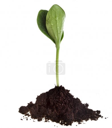 Seedling green plant in soil isolated on white on a white