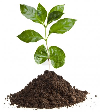 Photo pour Café plante des semis dans le pieu au sol sol isolé sur blanc - image libre de droit