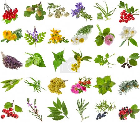 Photo for Fresh medicinal aromatic and culinary herbs, leaves, berries, plant, flowers - collection isolated on white background - Royalty Free Image
