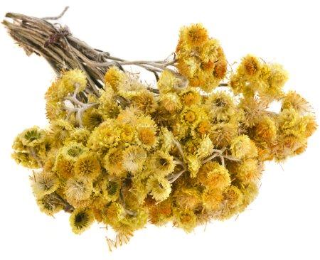 Photo pour Immortelle (Helychrysum) isolé sur fond blanc - image libre de droit