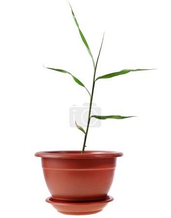 Photo pour Feuilles de gingembre germent sur blanc - image libre de droit