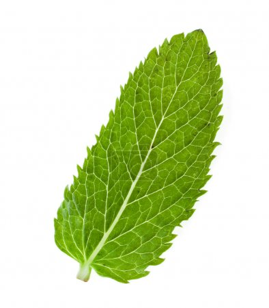 Fresh mint leave isolated on white background