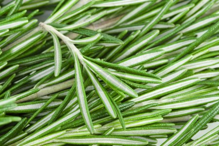 Photo for Rosemary herb background - Royalty Free Image
