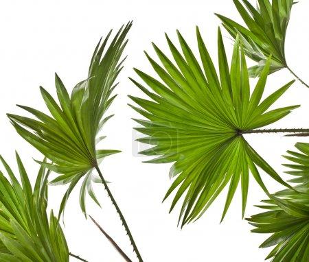 Green palm leaves (Livistona Rotundifolia palm tree) isolated on white background
