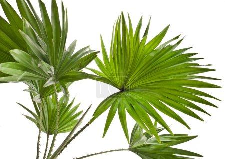 Photo pour Livistona Rotundifolia palmier isolé sur blanc - image libre de droit