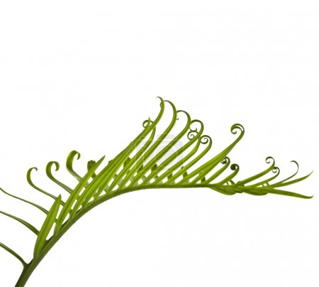 Photo pour Feuille verte vrille jeune de palmier sur fond blanc - image libre de droit