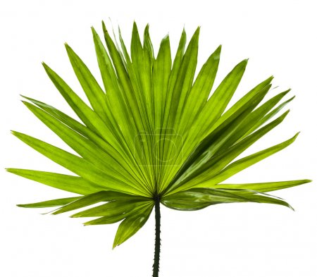 Green palm leaf (Livistona Rotundifolia palm tree) close up isolated on white background