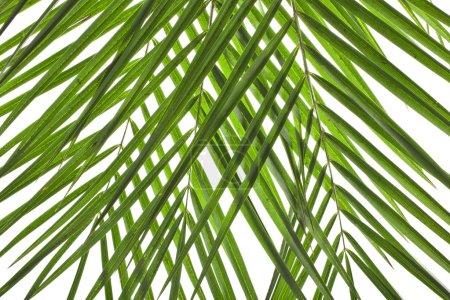 Photo pour Feuilles de palmier fond texture détail - image libre de droit