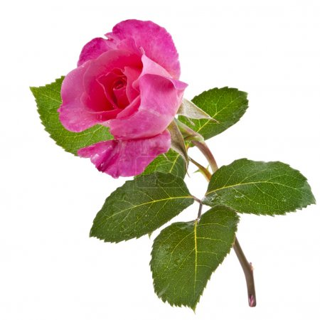 Pink rose isolated on a white