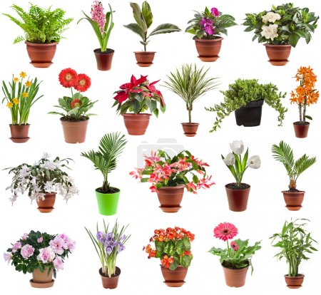 Photo for Collection of flower houseplants in flower pot, isolated on white background - Royalty Free Image