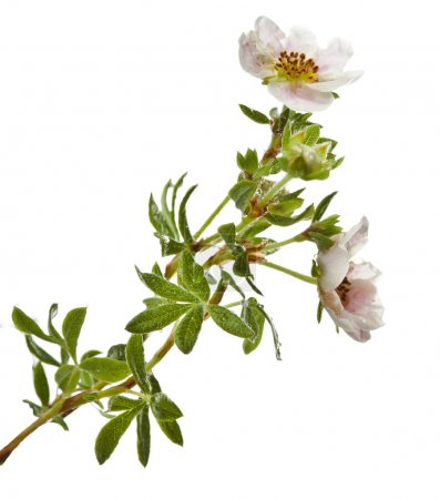 Shrubby Cinquefoil , isolated on white