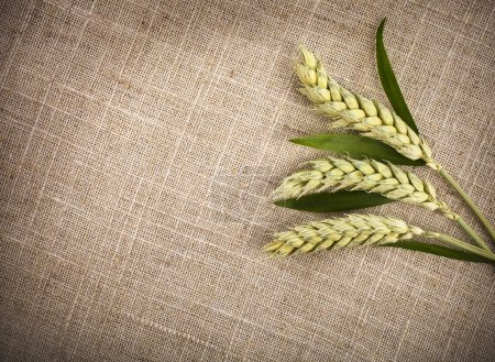 Photo for Wheat ears on sack texture background - Royalty Free Image