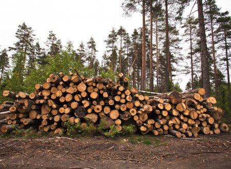 Photo pour Épinette bois exploitation forestière en forêt - image libre de droit