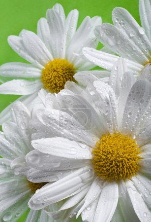 Daisy with dew drops on water