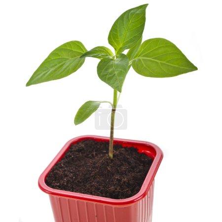 Photo pour Germination des semis paprika poivre dans un pot en plastique rouge - image libre de droit