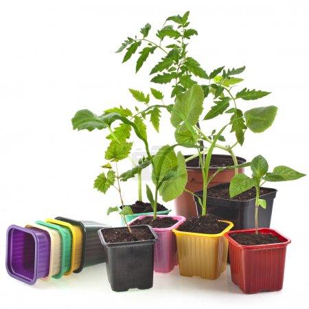 Photo pour Choux de jeunes plantes et pots colorés - image libre de droit