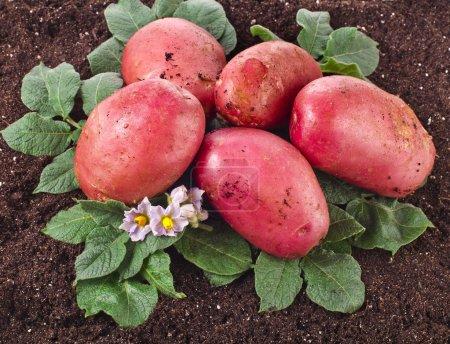 Fresh potato lying on the ground soil