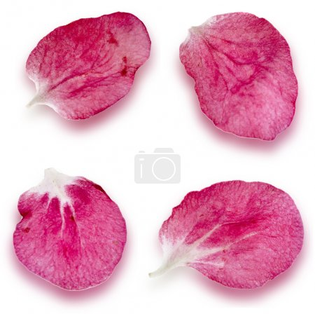 Petals of sakura close up extreme macro shot set isolated on a white background