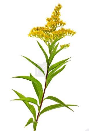 Solidago Virgaurea Canadensis Fleur de verge d'or isolée sur fond blanc
