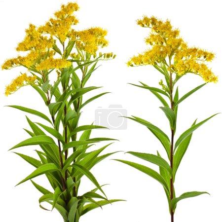 Solidago canadensis Fleur de verge d'or isolé sur fond blanc