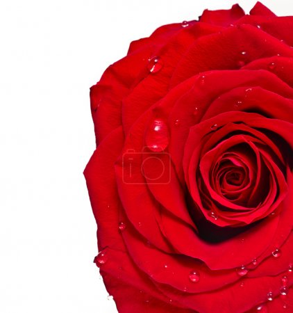 One single red rose