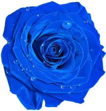 Photo pour Belle tête rose bleue avec des gouttes d'eau bouchent isolé sur fond blanc - image libre de droit