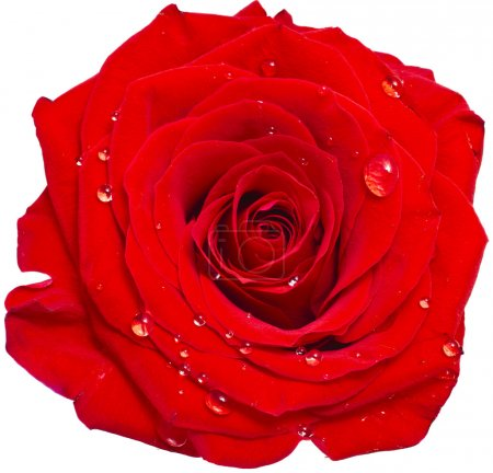 Photo for One single red rose bud close up macro shot with water drops - Royalty Free Image