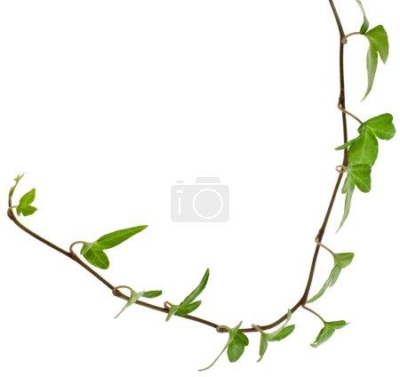 Border Frame made of Green climbing plant