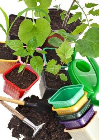 Photo pour Choux de jeunes plantes et pots colorés isolés sur fond blanc - image libre de droit