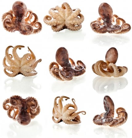 Octopus close up macro shot set isolated on white background