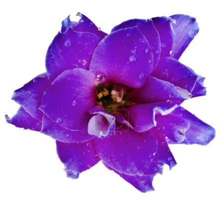 Photo pour Kalanchoe Calandiva tête de bourgeon de fleur gros plan macro shot isolé sur fond blanc - image libre de droit