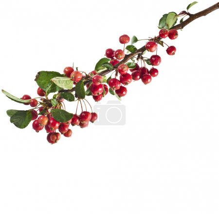 rote Äpfel an einem Zweig. isoliert auf weißem Hintergrund