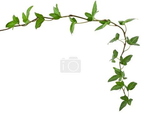 Border Frame made of Green climbing plant, shape heart