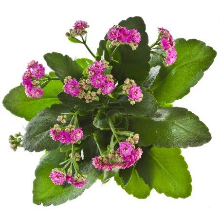 Photo pour Tropical de fleur Kalanchoe succulente plantes plante ornementale d'intérieur - isolé sur fond blanc - image libre de droit