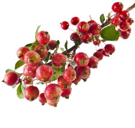 schöne rote Äpfel auf einem Zweig