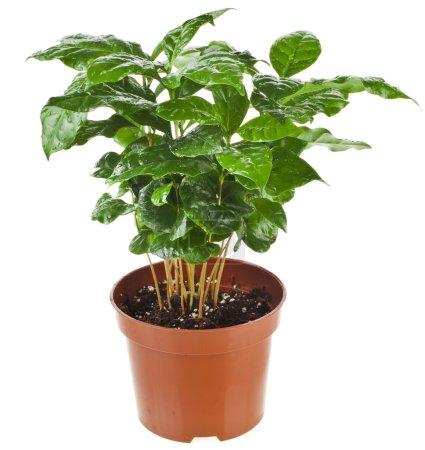 Green Leaves.Coffee Arabica